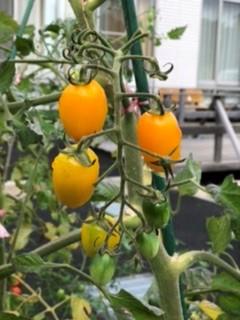 色づいたフルーツトマト